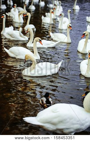 Mute Swans And Ducks