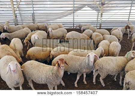 Many sheep in the corral on a farm (Lat. Ovis aries)