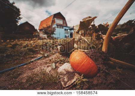 Wide angle shot of big ripe orange pumpkin growing on the ground and backed by stone surrounded by beds leaves country house in background cloudy summer or autumn day