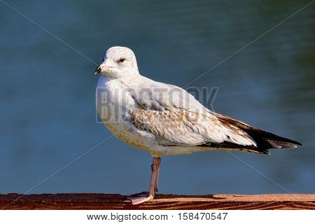 Ring-billed Gull Larus delawarensis Looking left while standing on fence with blue water background
