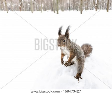 Little Grey Squirrel Standing On Hind Feet In Snowy Forest