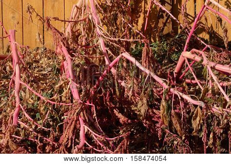 Amaranth plant now dead from neglect to prepare for first winter snow storm