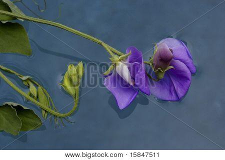 Purple sweet pea floating on water