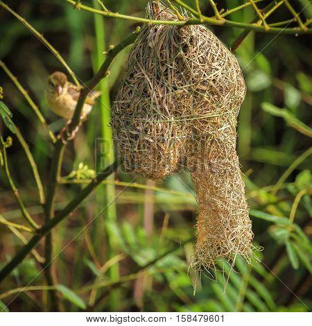 Asian golden weaver is found in Cambodia Indonesia Laos Myanmar Thailand and Vietnam.