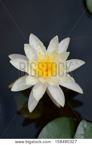 close up white lotus flower in nature garden