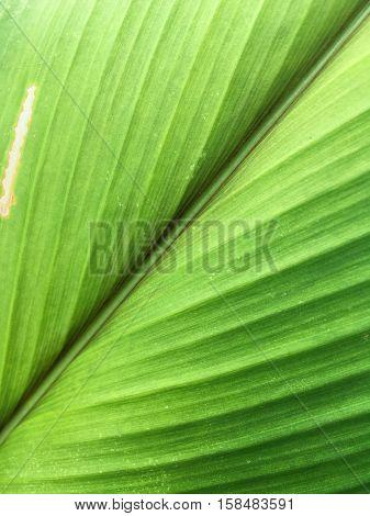 close up fresh green curcuma zanthorrhiza leaves texture