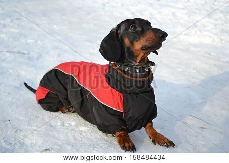 Horizontal portrait of a dog breed dachshund dog is black, full-length lying in the snow on a sunny day in a red jacket with a collar