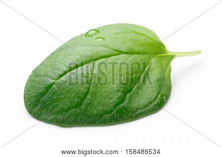 Oregano-origanum Vulgare Leaf, Paths