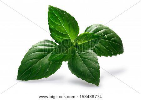 Aquifolium Ruffled Basil, Paths