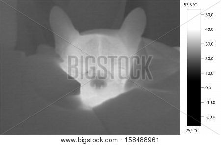 Thermal image photo french bulldog dog gray scale