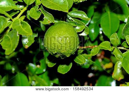 Kaffir Lime Gardening, Kaffir Lime Fruits With Water Drop On Tree.