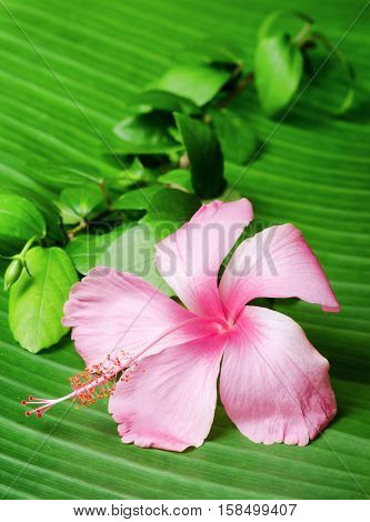 Hibiscus Flower On The Green Leaf