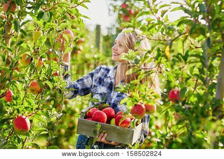 Young Woman Picking Apples In Garden