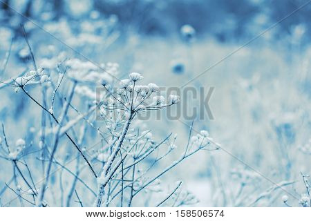 Fragile wild flowers in winter. Blue winter background.