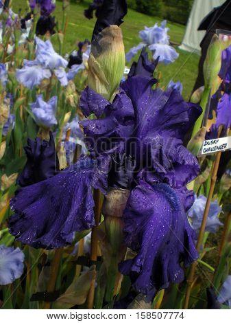 Wonderful Iris dusky challenger after the rain