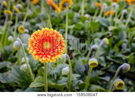Yellow hearted orange Gerbera flower between other budding and flowering plants in a Dutch nursery specialized in Gerbera cut flowers for export.