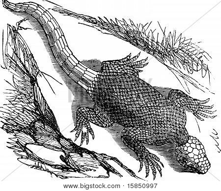 West African Spinous Lizard Or Agama Colonorum Engraving.