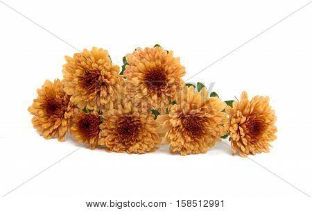 chrysanthemum orange autumn flower on white background