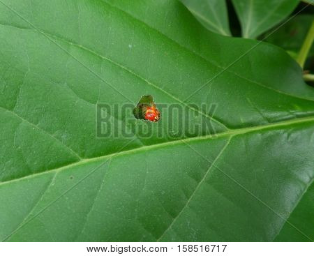 Closed up one red caterpillar eating a green tree leaf till the chewed hole appears