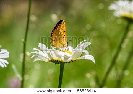 Orange black spotted butterfly on the camomile in the forest in summer, in the province of Girona, Alp, Catalonia, Spain