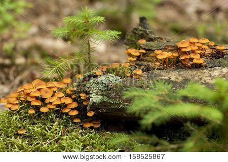 species of agaric fungus (Xeromphalina kauffmanii) on trunk