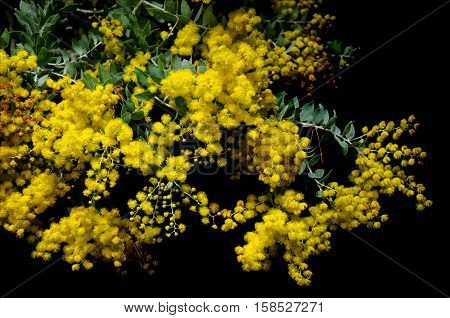West Australian wattle acacia species blooming in spring