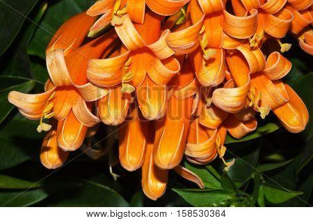 Fresh and beautiful orange trumpet , Flame flower or Fire-cracker vine