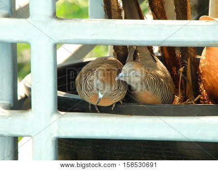 Wild Zebra Dove preening its mate on a planter at the balcony