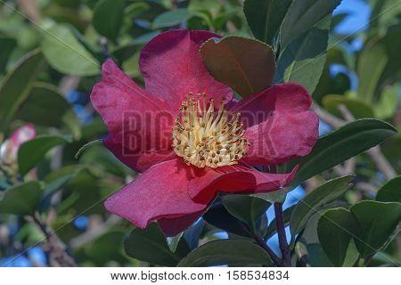 Sasangua camellia (Camellia sasangua). Close up image of a single flower
