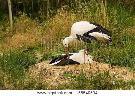White Stork Couple