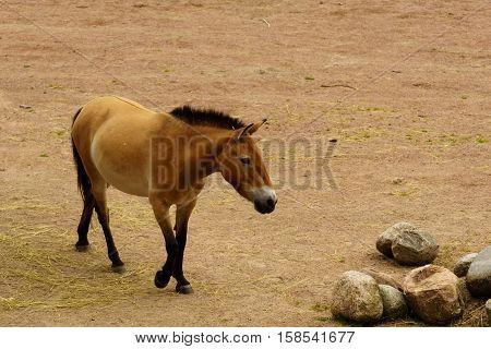 Dzungarian Wild Horse