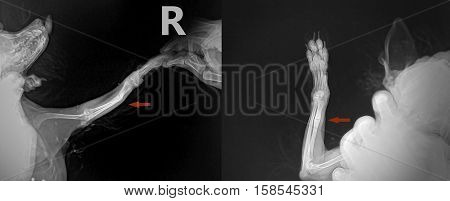 closed fracture of the ulna - right leg in front of the dog Chihuahua breed. X-ray in two proektions - AP and Lateral X-Ray