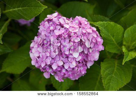 Hydrangea flower full bloom in garden. Hydrangea flower