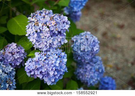 Hydrangea flower full bloom in garden., Hydrangea flower