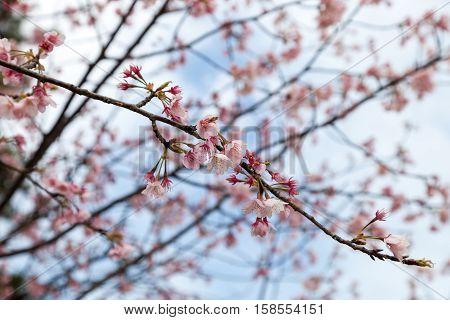 Beautiful pink Sakura flower blooming.,  pink Sakura flower
