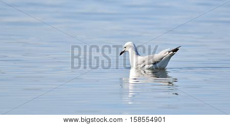 Close up of Seagull swimming in the Berg River