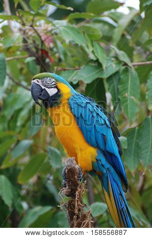 Blue and yellow macaw bird sitting in a tree with berries.