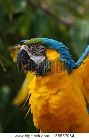 Gorgeous blue gold macaw with ruffled feathers.