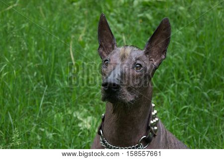 Vertical portrait of a dog breed Xoloitzcuintli, the Mexican hairless dog black standard size, on a background of green grass