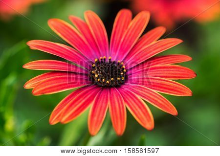 Close-up of red aster flower in the summer garden. Macro photography of nature.
