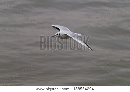 A Seagull is flying over the water. A Seagull flies over the water.