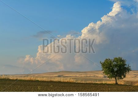 SUMMER LANDSCAPE.Between Apulia and Basilicata:lonely tree on plowed soil.ITALIA