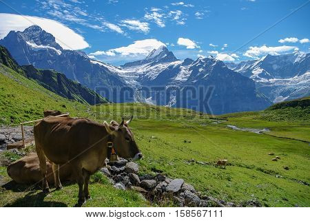 Cows In An Alpine Meadow With Mountains In Snow In Background. Jungfrau Region, Switzerland