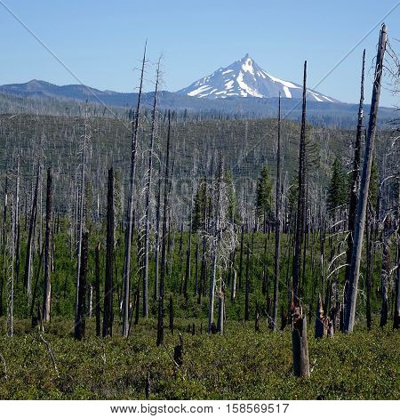 A forest fire aftermath near Round Lake in Oregon's Cascade Mountains with Mt. Washington in the background on a sunny summer morning.