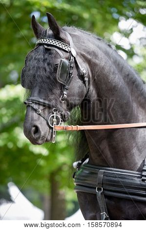 friesian horse carriage driving harness outdoor in summer
