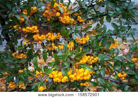 Scarlet firethorn (Pyracantha coccinea). Yellow scarlet firethorn berries in nature. Selective focus.