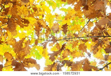 autumn oak leaves. A close up. A forest