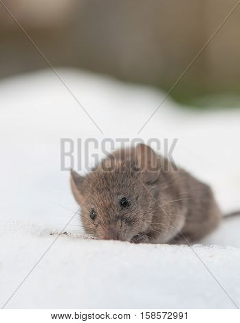 a house mouse (Mus musculus) close up