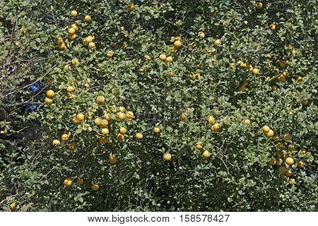 Trifoliate citrus tree with fruits (Poncirus trifoliata). Called Japanese bitter orange Hardy orange and Chinese bitter orange also