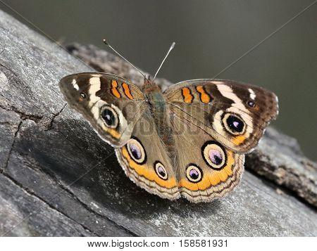 A Common Buckeye butterfly (Junonia coenia) resting